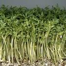 人気上昇中!窓辺で超カンタン栽培できるスプラウト