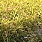 王者新潟産コシヒカリを揺るがす、「おいしい米」戦争の舞台裏〜攻勢かける北海道と九州