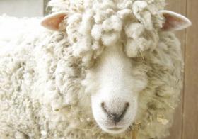 集団自殺する羊たち!?  一体なぜ? 変わりゆく生態系の恐怖