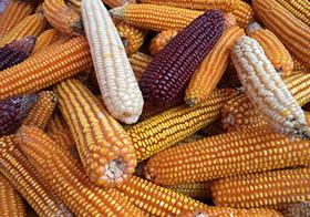 人体への安全性不明な遺伝子組み換え食品、大量流通の危険 国も制御不能