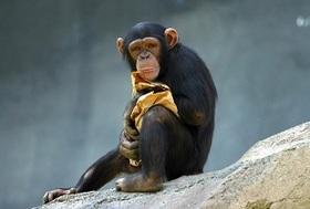 人間の手は、チンパンジーの手よりも原始的で未発達だった(最新研究)