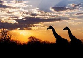 アフリカの狩猟採集民族は超短時間睡眠 「現代的な」生活と睡眠時間に関連なし?