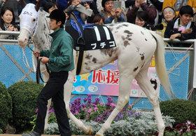 「ブチコさんはお母さんになります」まだら模様の人気者・ブチコ引退・繁殖牝馬入り!!