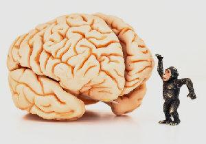 脳の重さと知性は比例しない?~ヒトの大脳が巨大化してきた理由
