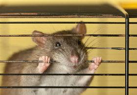 動物実験は虐待か…実験動物の苦痛を軽減するシステムが不十分な日本