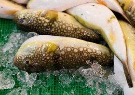 フグの肝、食べると死の恐れ…安全な店などない、佐賀県が可食化を国に要請