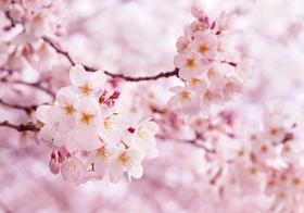 花見で桜の枝を折って「花冠」、3年以下の懲役または30万円以下の罰金も