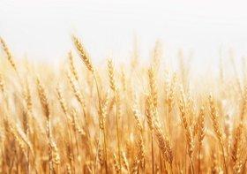 殺菌剤が基準値超過の輸入大麦が流通…安倍政権、検疫なしで大量輸入の現状を放置