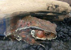 4億年前の地層の石の中から、生きたカエル見つかる…世界中で同様の事例相次ぐ