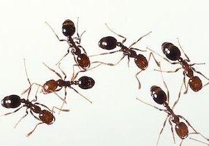 強毒・ヒアリが日本上陸、定着すれば撲滅は困難…驚異的繁殖力、女王アリは1日3千個を毎日産卵