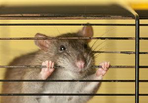 実験動物が苦痛にもだえ苦しんでいる。日本には苦痛を軽減するシステムが確立されていないの画像1