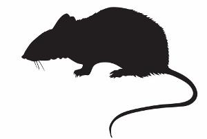 人間を脅かすネズミ、驚異の生命力!段ボール箱で増殖、電線かんで火災…の画像1