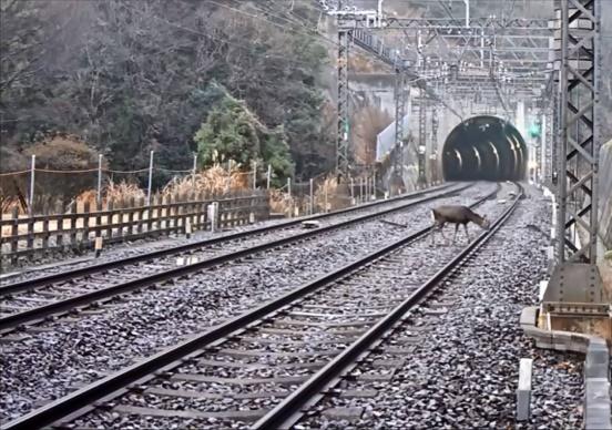 中央線、動物衝突事故急増で大幅遅延多発…北海道はエゾシカ事故が年2千件