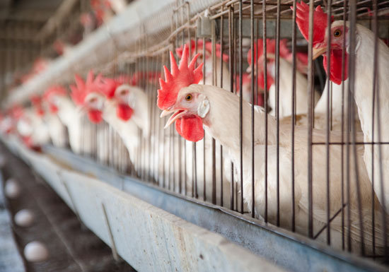 汚染された「卵」が氾濫…鶏を虐待的飼育で何度も「強制換羽」させ産んだ卵を食べる日本人の画像1
