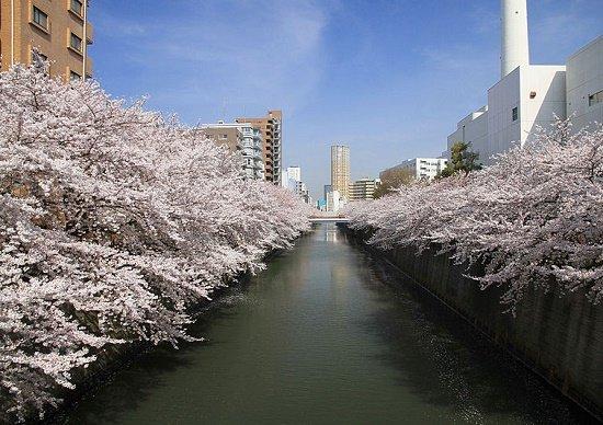 東京から桜が消える危機…一斉に寿命、巨額の維持コストと手間、花びらで事故も