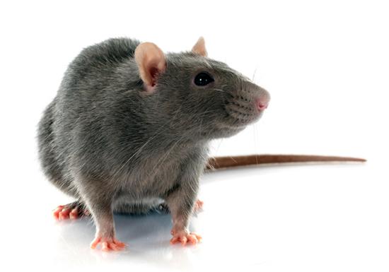 超危険な鼠はこう撃退しろ!病原体汚染や火災、死んだ鼠腐敗で部屋中に異臭もの画像1