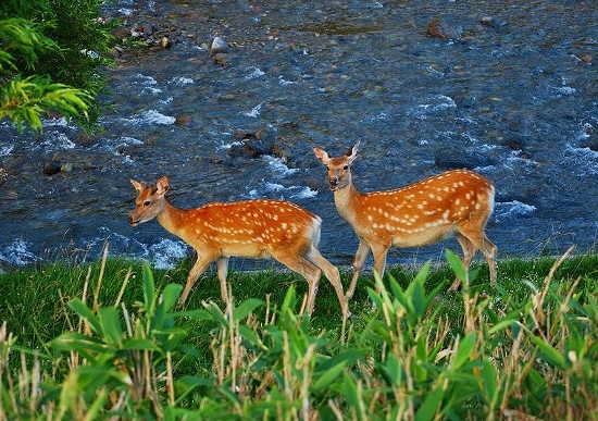 鹿やイノシシの際限なき増殖が社会問題化…畑壊滅や交通事故多発でもハンターが足りない!の画像1