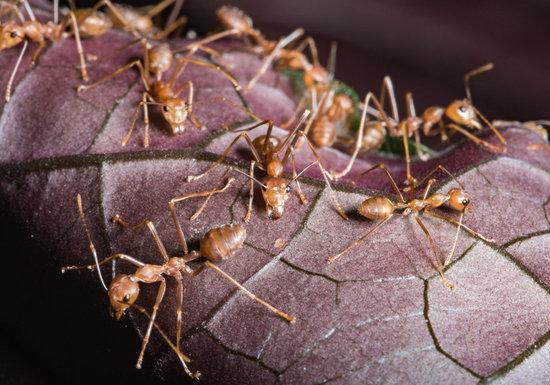 ヒアリ対策のアリ駆除剤は、逆効果?殺虫剤、使用時に吸引の危険も…呼吸障害やぜんそくの可能性の画像1