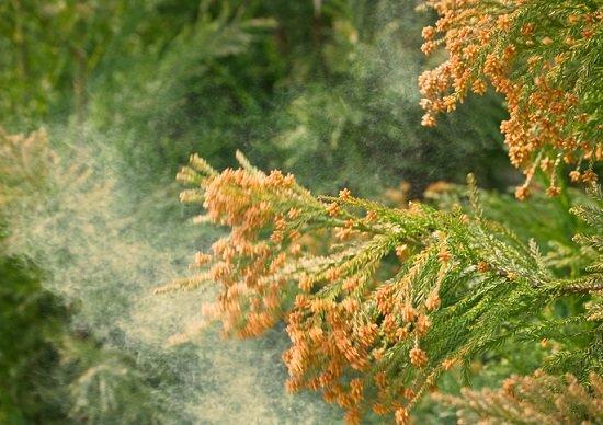 花粉症の恐ろしい話…インフルエンザに罹りやすく、最悪の状態に?