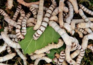 「虫から薬」をつくる時代がやってきた!カイコが製薬業界の救世主となる?
