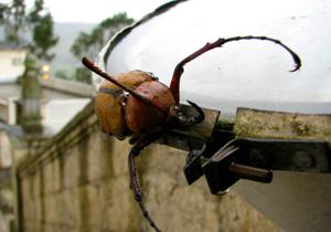 カブトムシの恐怖 違法輸入&飼育で食道にカビ…異種交配で未知のウイルス発生の危険