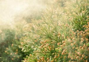花粉症、東京都が撲滅宣言 深刻化の原因は50年前?従来型スギ、大量植樹&放置